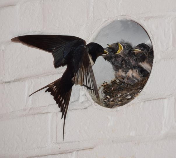 barn-swallows-2520169_640